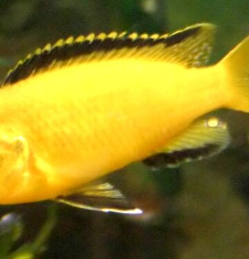 yellow lab cichlid female yellow lab cichlid electric yellows yellow labidochromis