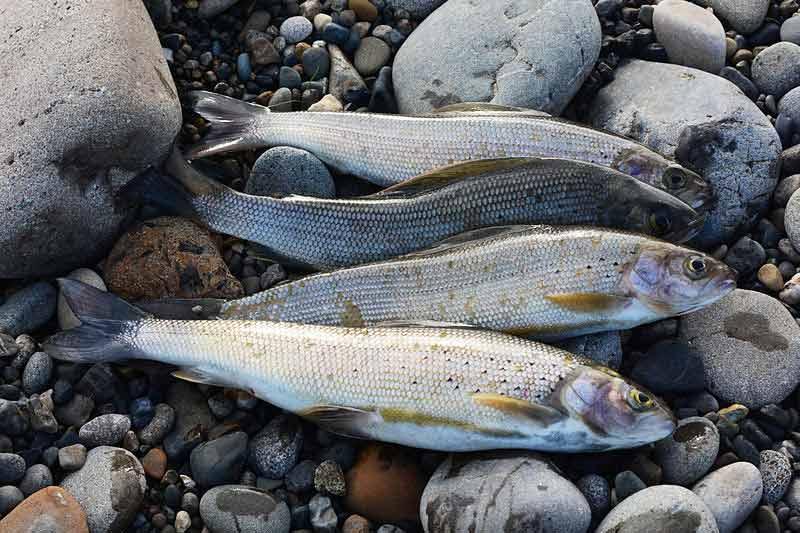 Alaska Whitefish