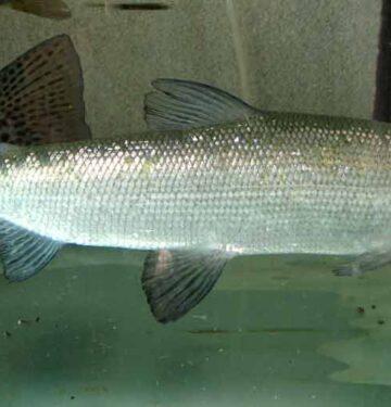Mountain Whitefish